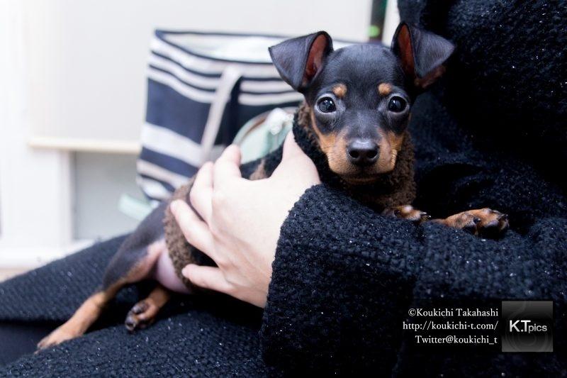 PIXTAで抱っこされた犬の写真をご購入頂きました。女性に抱っこされる賢そうな子犬イメージ。ミニチュアピンシャー