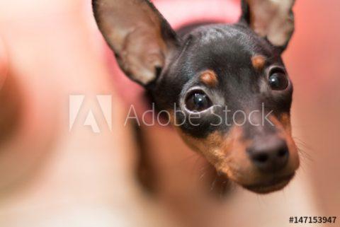 Adobe Stockで不思議そうに見上げる犬の写真素材をご購入頂きました!