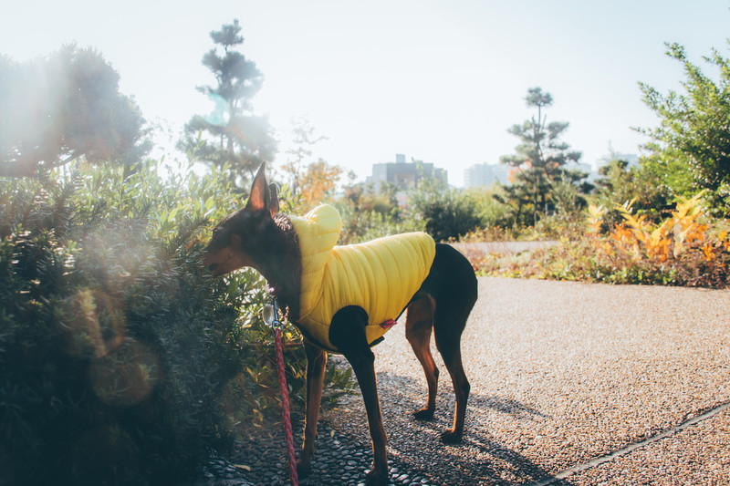 公園でリラックスする服を着た犬。ミニチュアピンシャーストックフォト写真素材